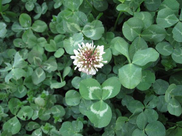 imperial-clover-flower